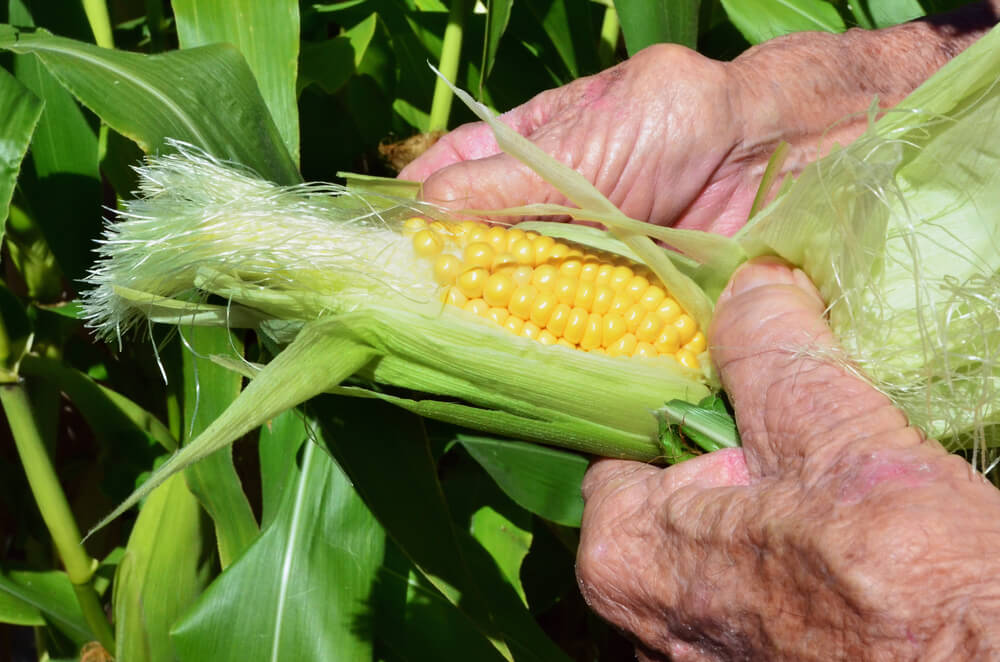 old hands hold GMO corn stock