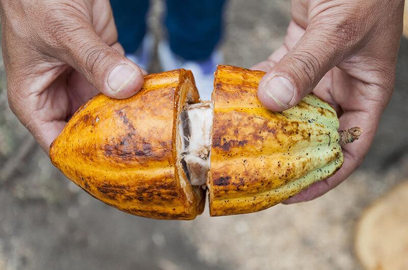 farmer's hands hold open a ripe cocoa split in half