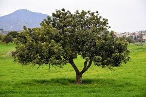 carob tree shrub